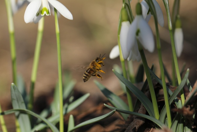 pszczola 01