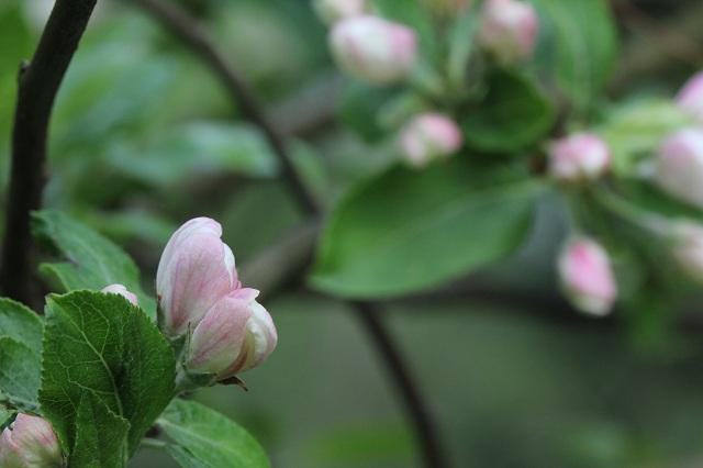 dzika jabłoń w lesie