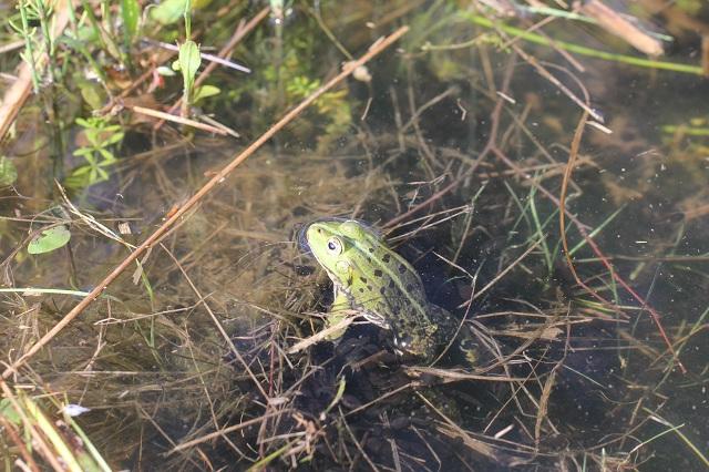 Żaba z grupy zielonych